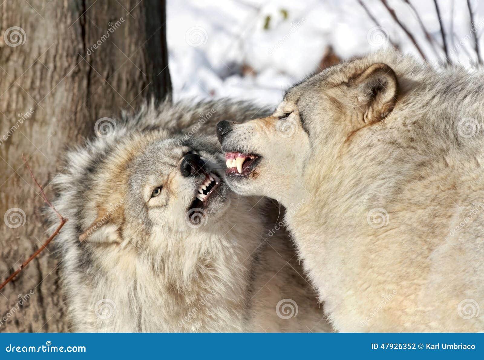 Aggressive Wölfe