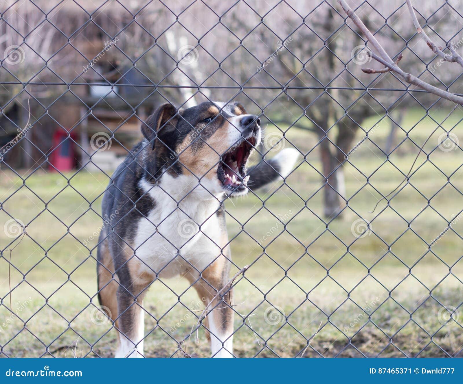Aggressiver Abstreifenhund Hinter Zaun Garten Schutzend Stockbild