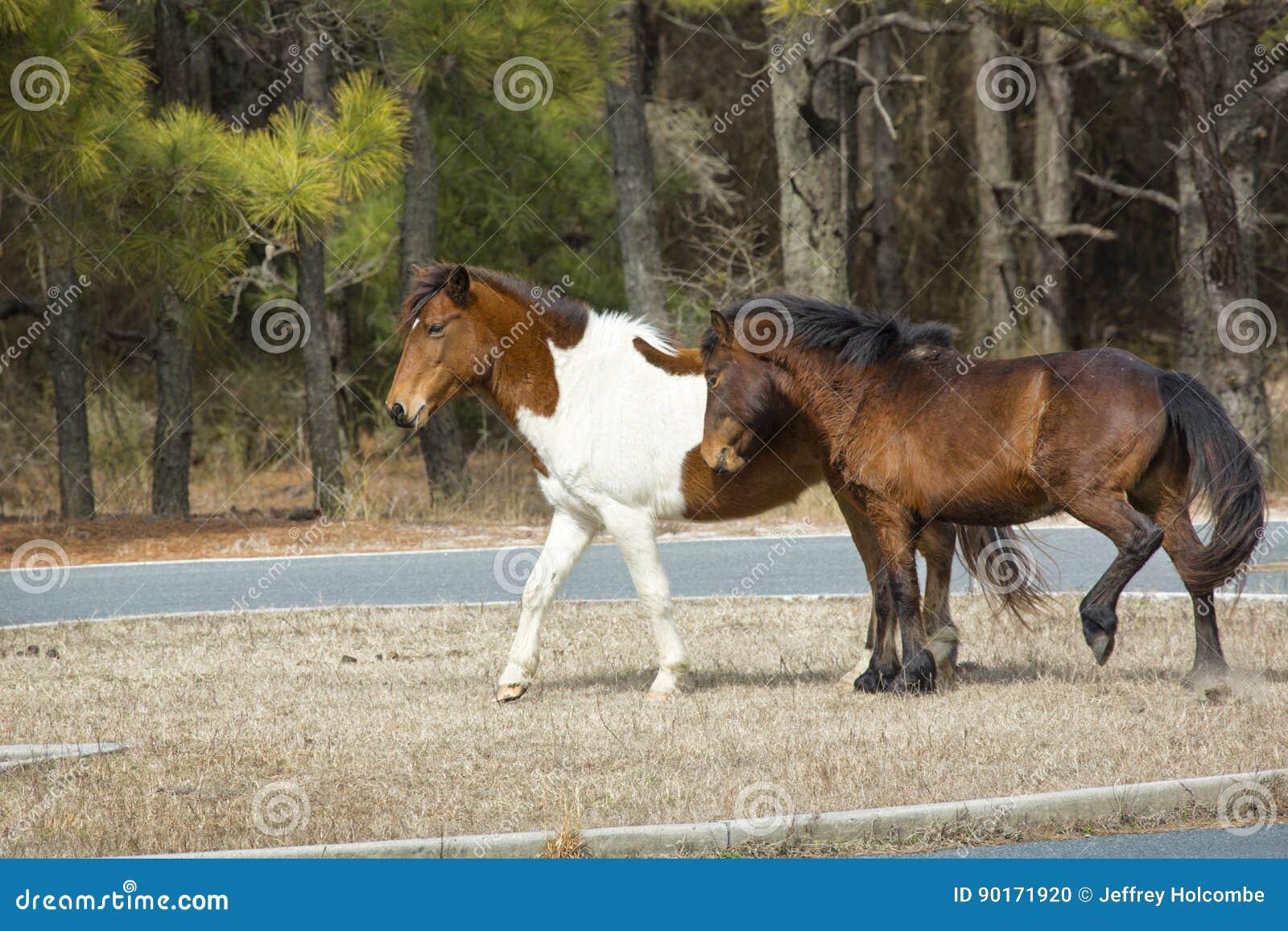 Aggressives Verhalten in den wilden Pferden auf Assateague-Insel, Marylan