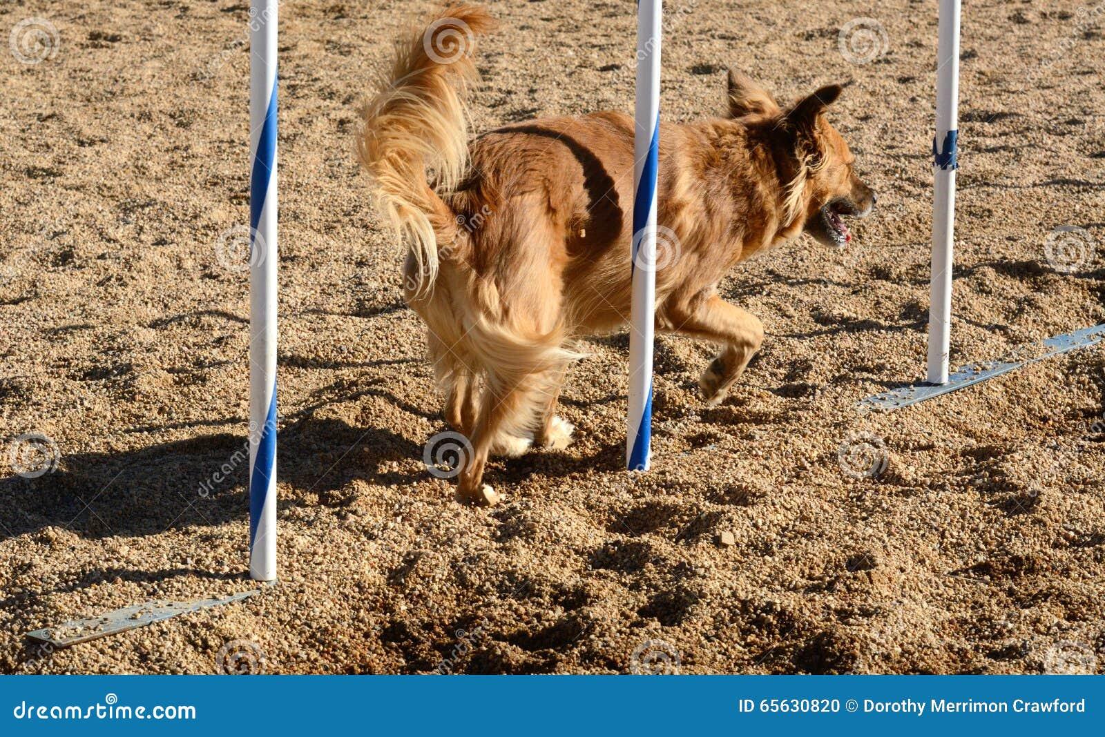 Agilité de chien : poteaux d armure