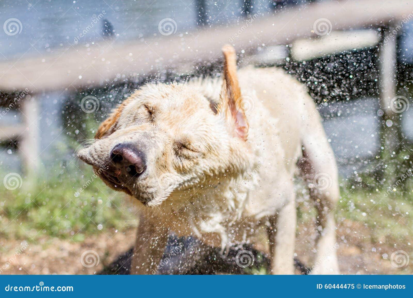 Agitação molhada do cão sua cabeça
