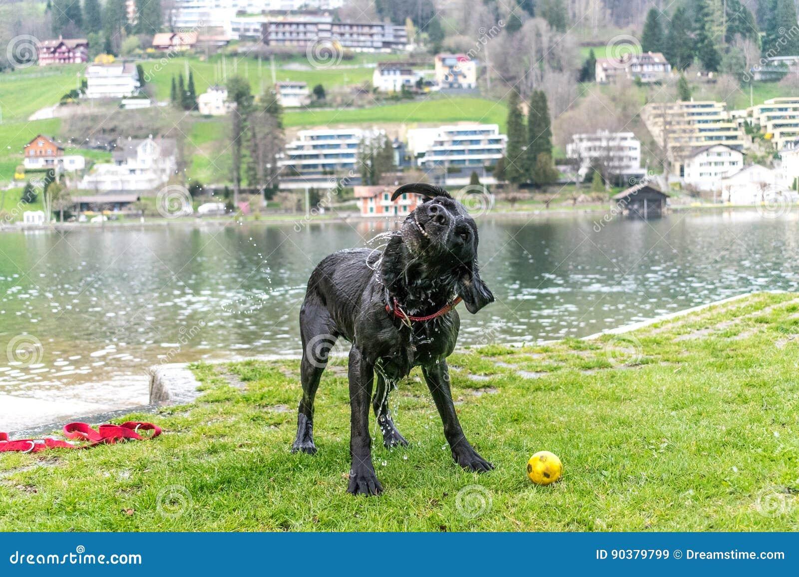 Agitação preta de Labrador