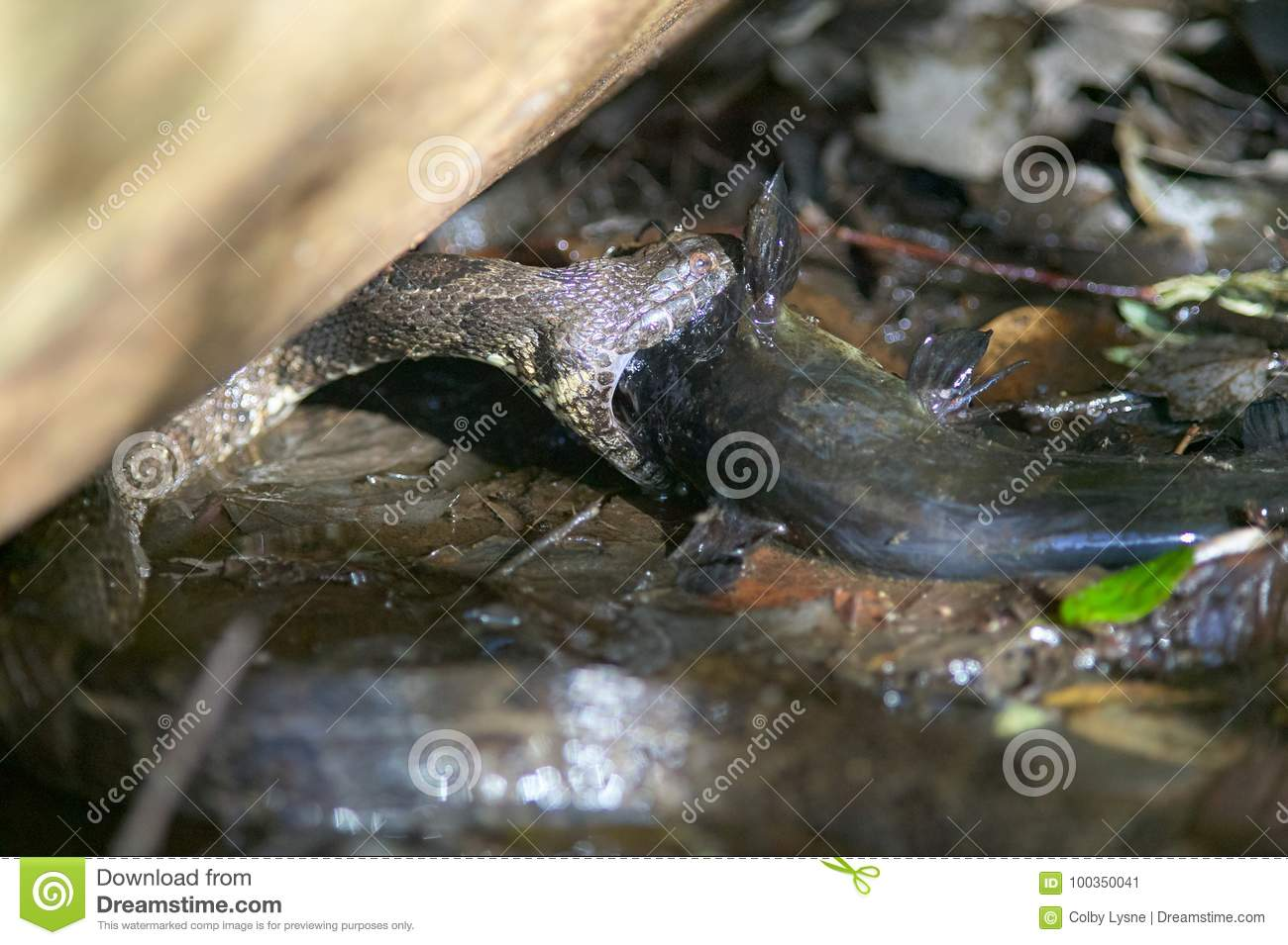 Water Moccasin Eating Fish In Swamp Stock Image Image Of Habitat