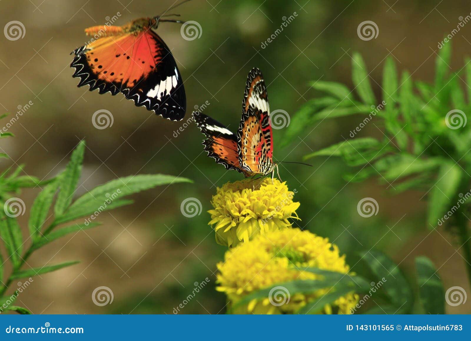 Aglais蝶粉花薄菏s urticae
