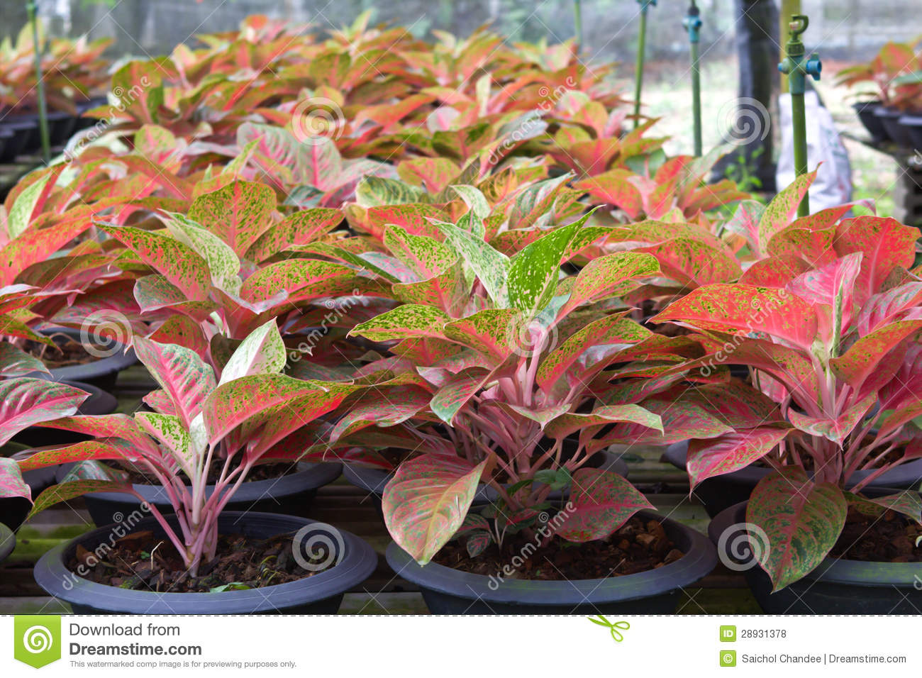 aglaonema plant royalty free stock photos image 28931378 pot leaf vector image pot leaf vector eps