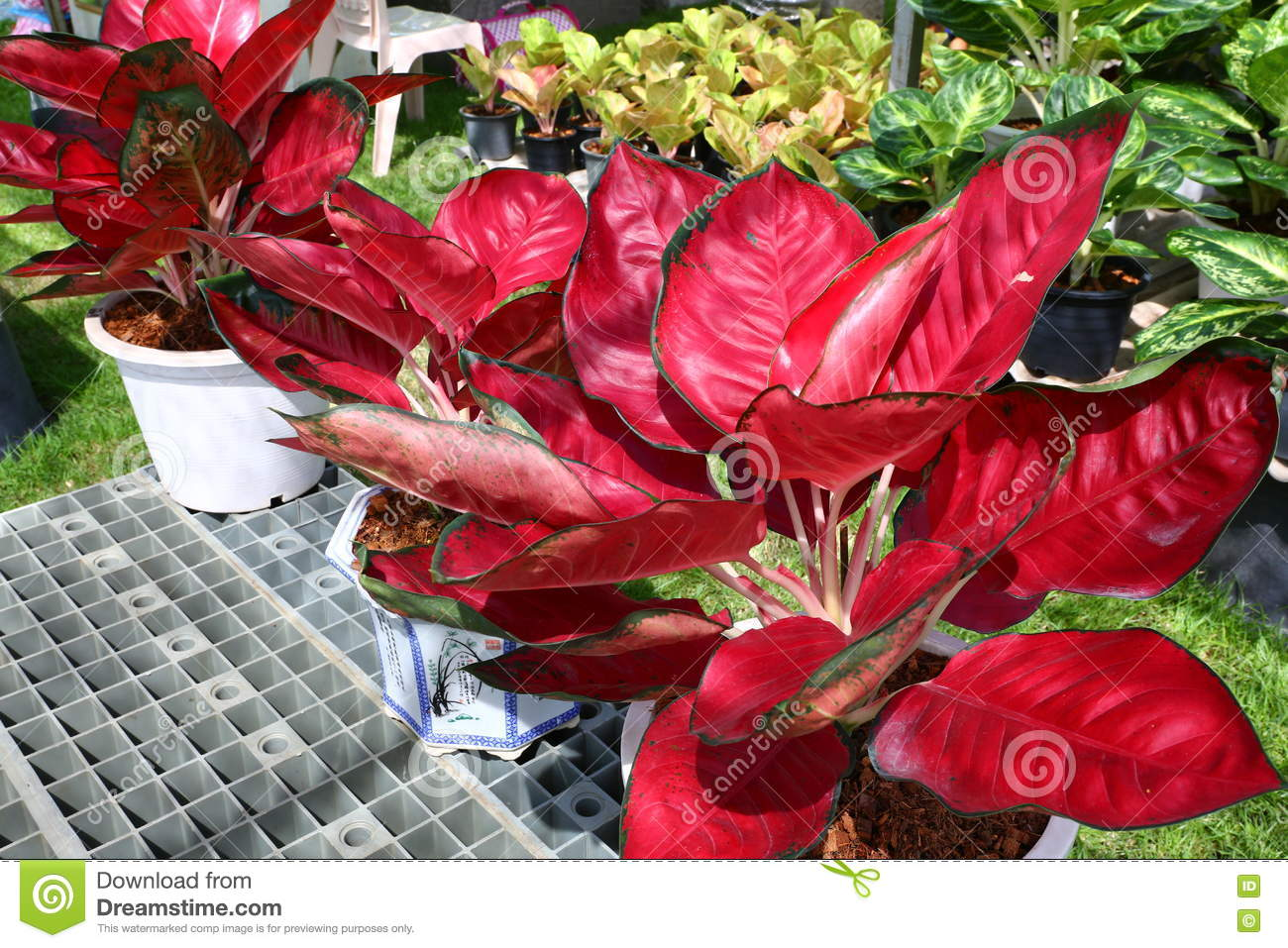 Aglaonema Plant Chinese Evergreen Stock Image - Image of ... on red camellia, red variegated plants, red aster, red pineapple, red narcissus, red anthurium, red zebra plant, red wandering jew, red house plants, red crotons, red gerbera, red tropical plants names, red flowering plants, red peace lily, red fittonia, red angelonia, red photinia, red anemone, red acacia, red allamanda,