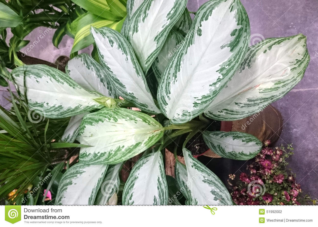 Aglaonema 39 Silver Bay 39 Chinese Evergreen Silver Bay Stock