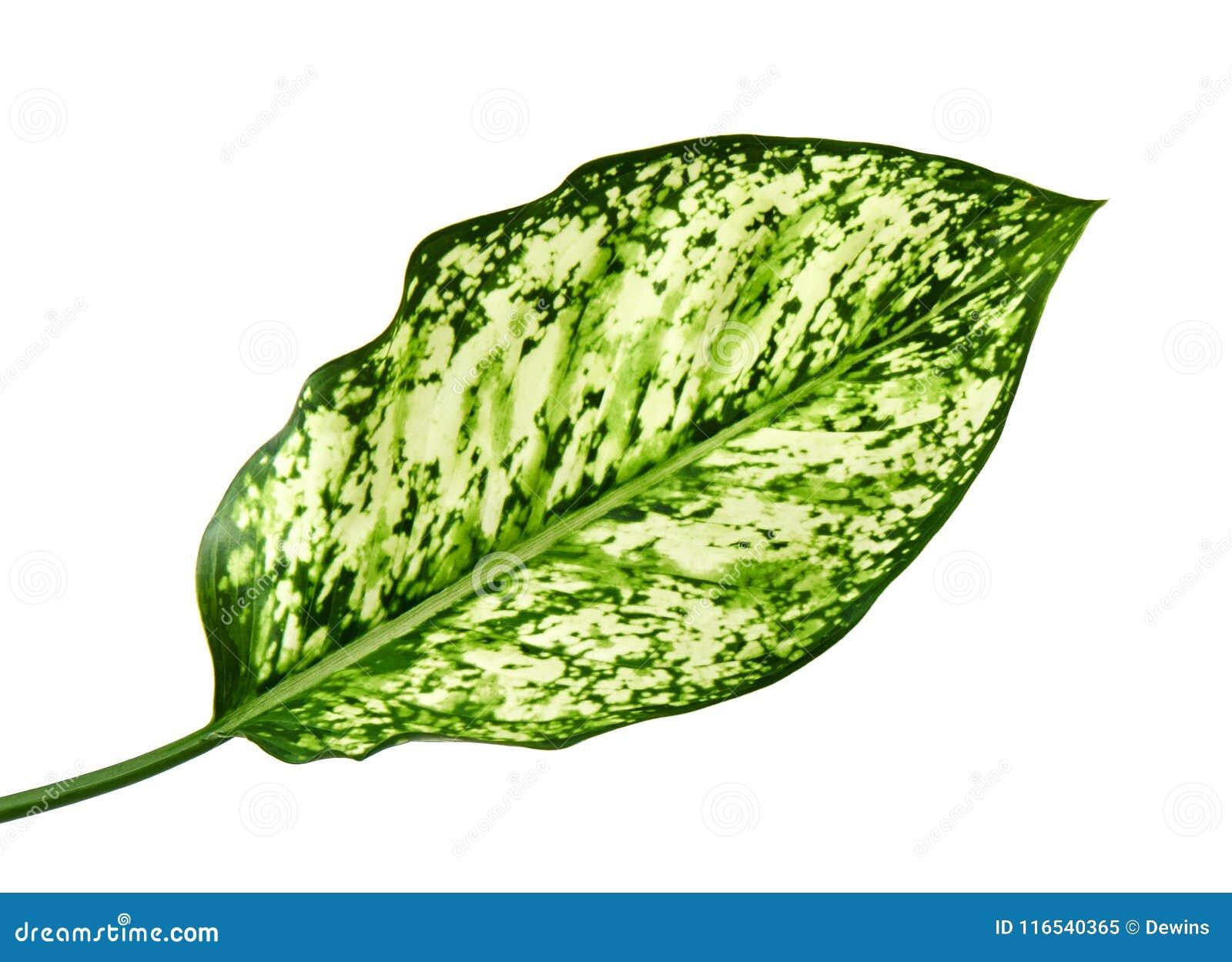 Aglaonemalövverk, kinesisk evergreen för vårsnö, exotiskt tropiskt blad som isoleras på vit bakgrund med den snabba banan