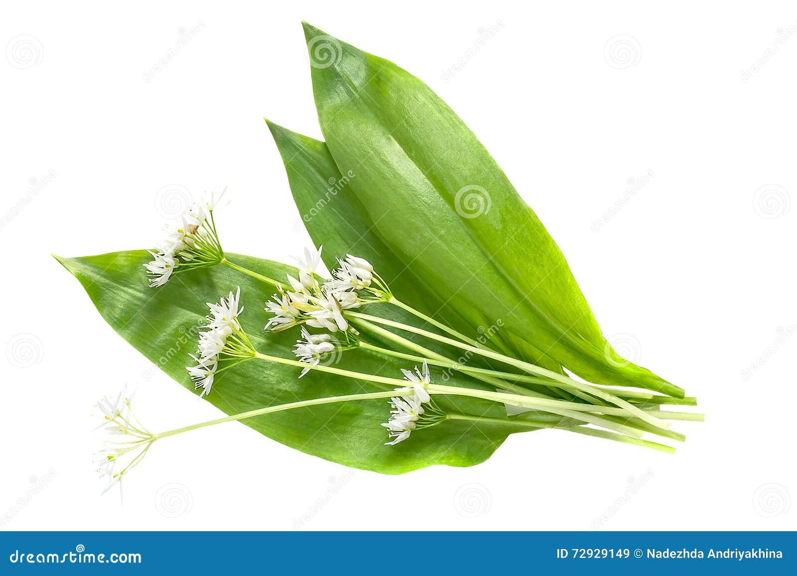 Aglio orsino della pianta medicinale ursinum dell 39 allium for Aglio pianta