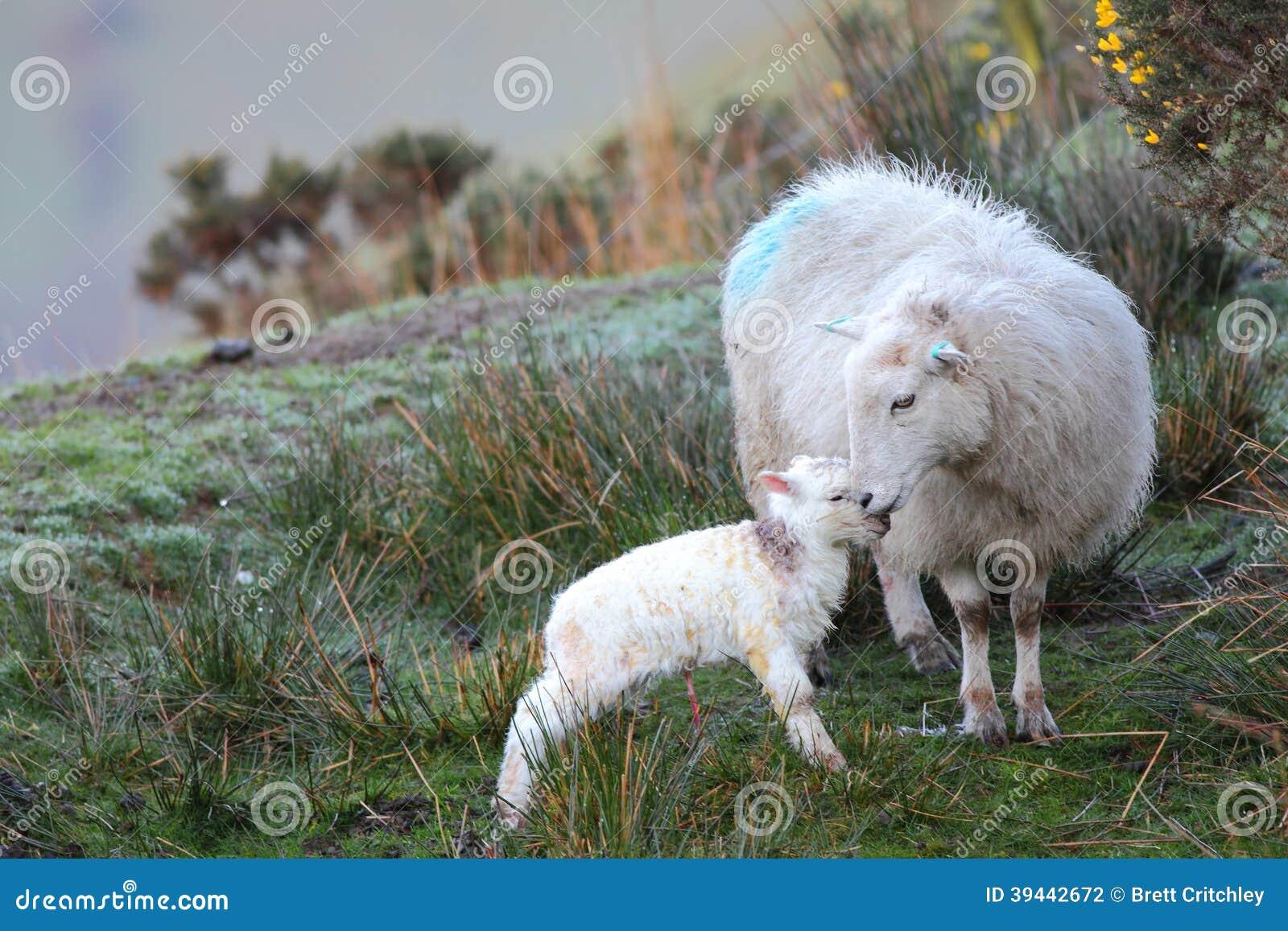 Agneau et moutons