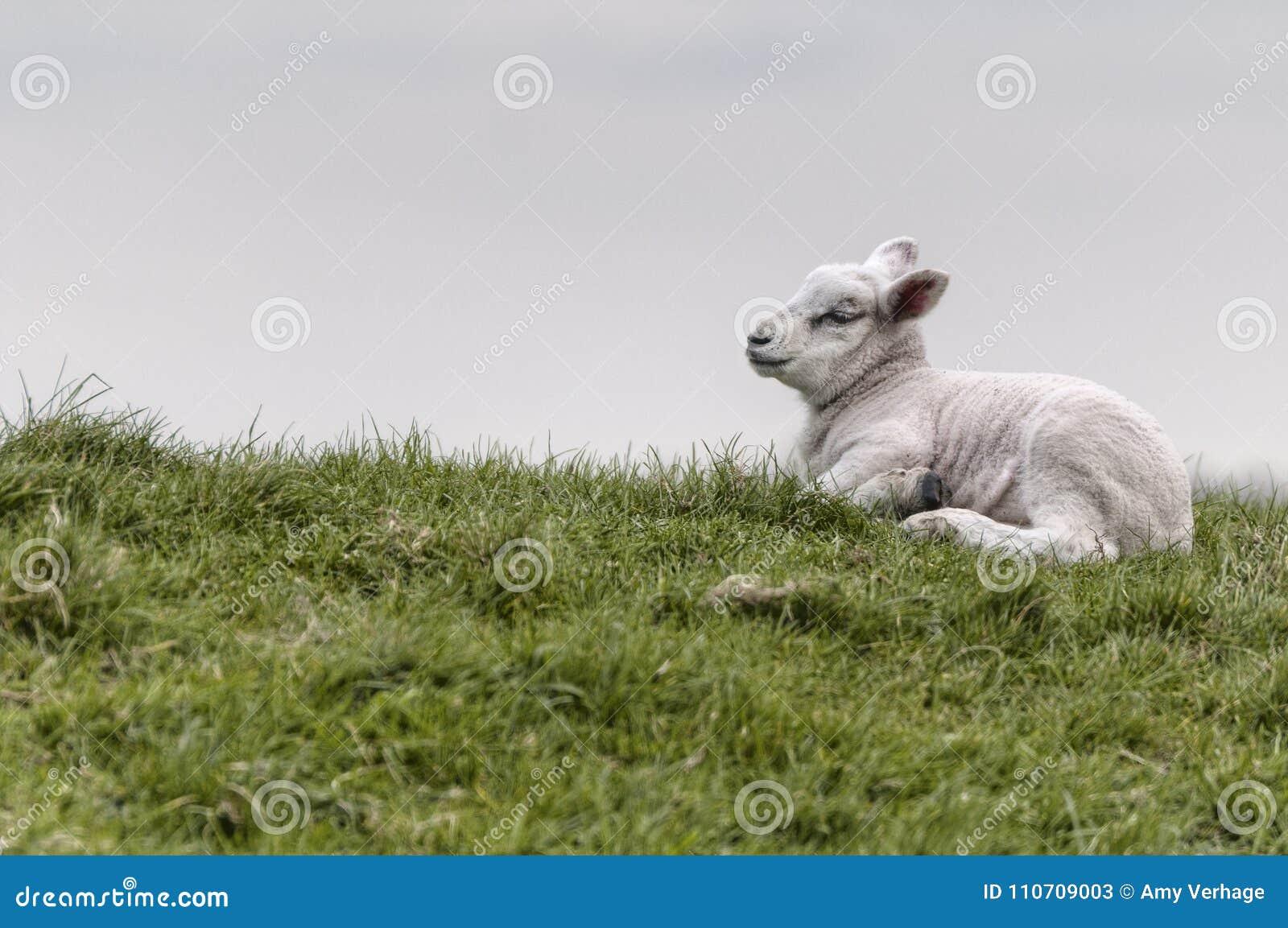 Agneau se trouvant sur l herbe