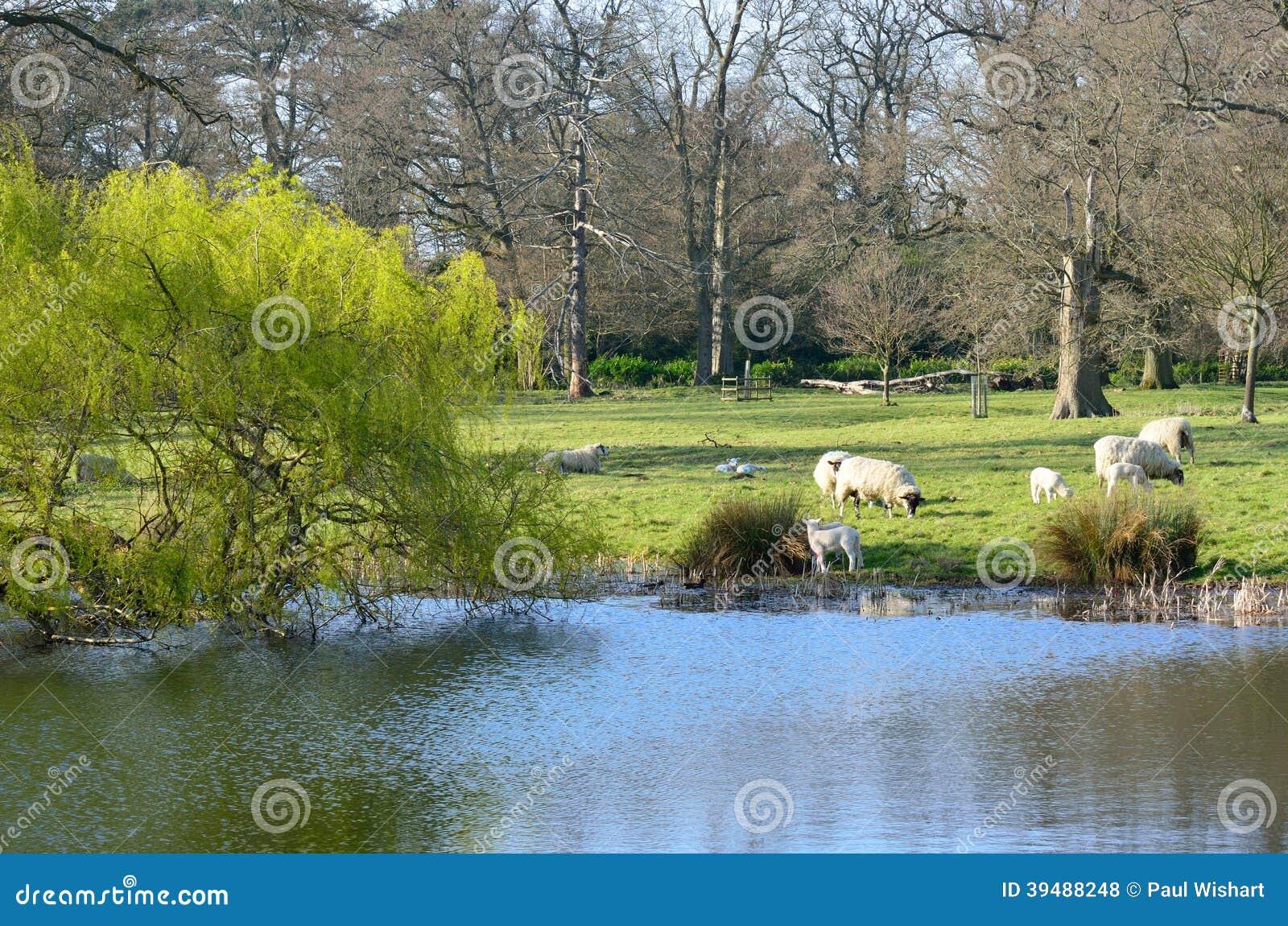 Agneaux dans la campagne anglaise photo stock image for Photo campagne anglaise