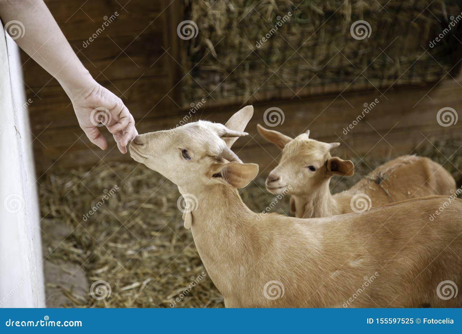 Agnelli e allevamento di pecore