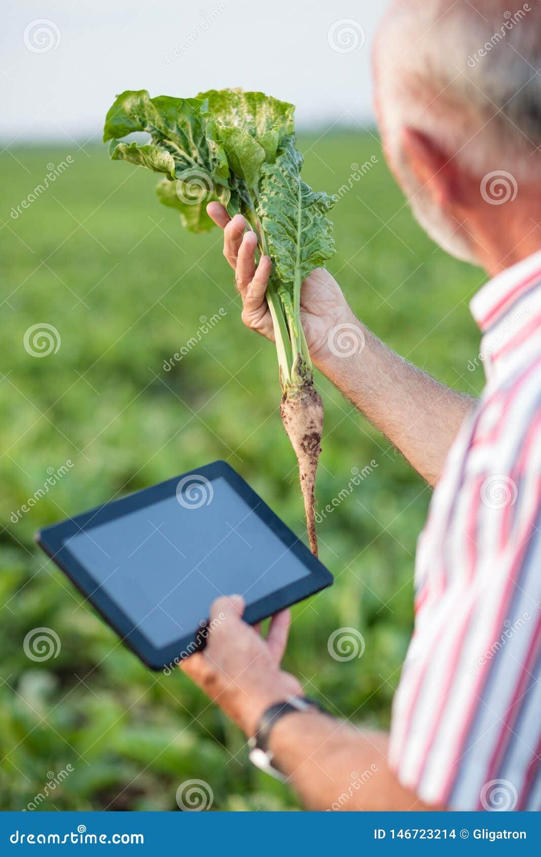 Agrónomo o granjero mayor que examina la planta joven de la remolacha en campo