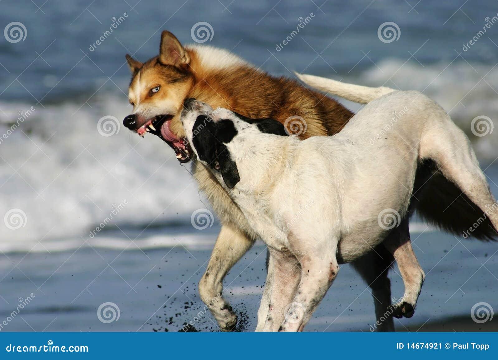 Twee honden vestigen overheersing terwijl het spelen op een zwart