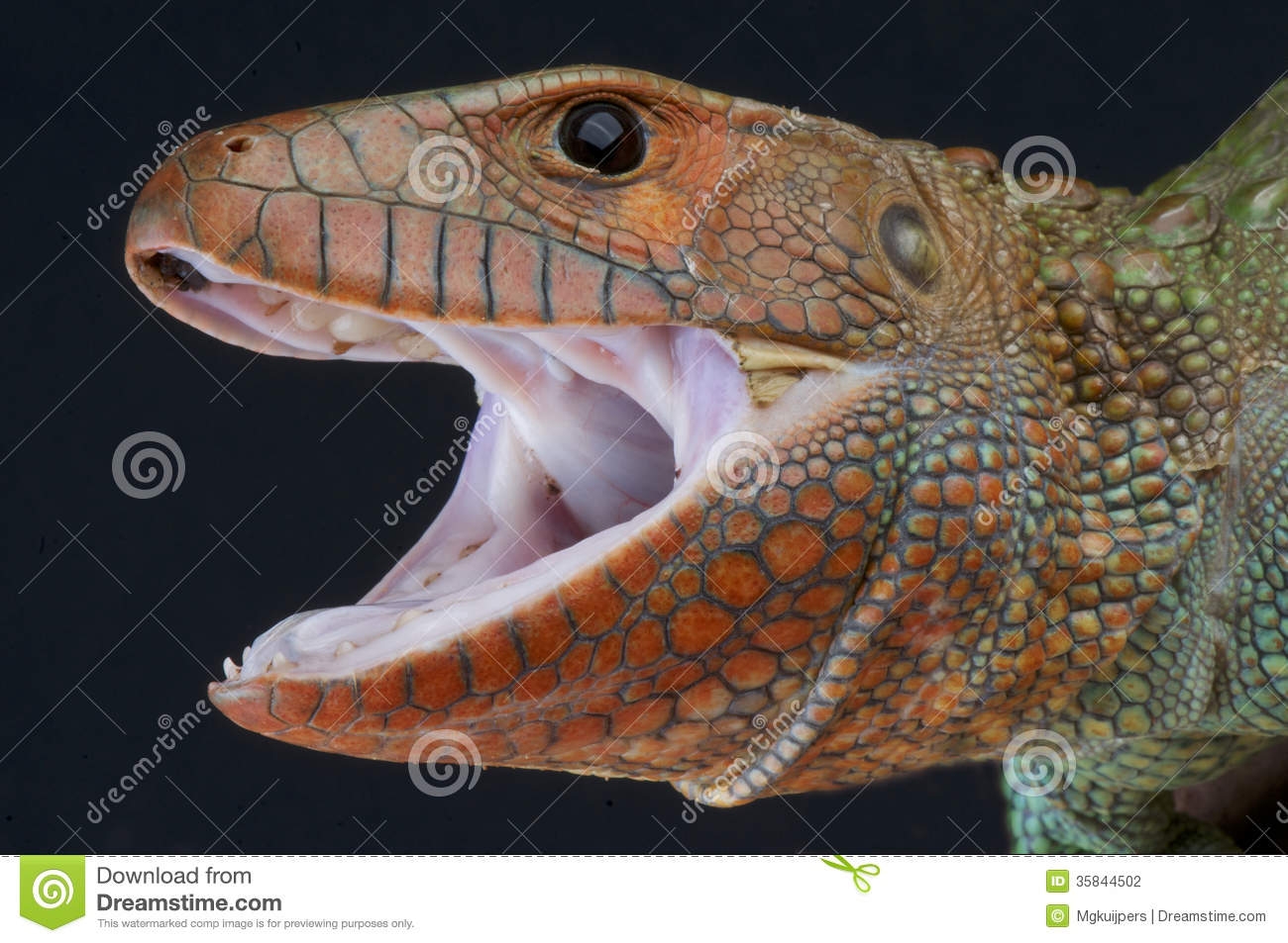 The Caiman lizard is a large semi-aquatic lizard that inhabits the ...