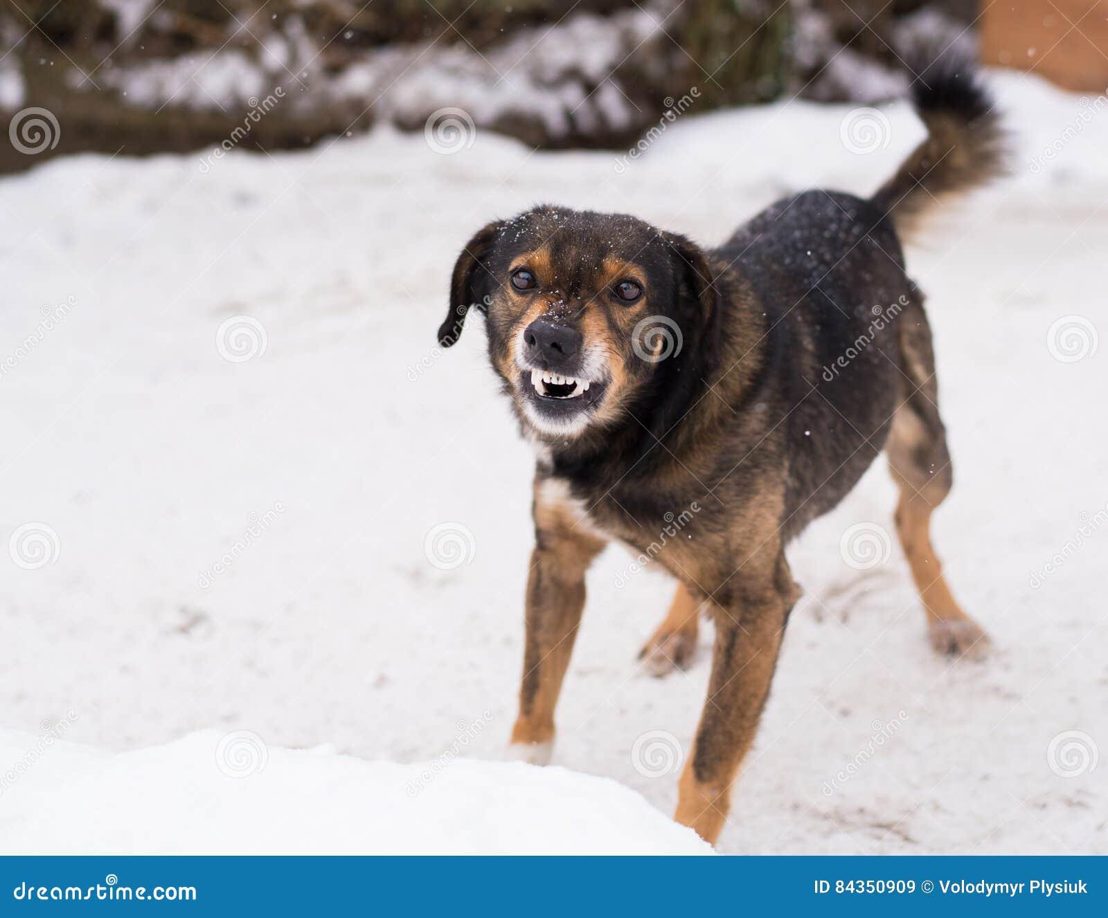 Agresywny, gniewny pies,