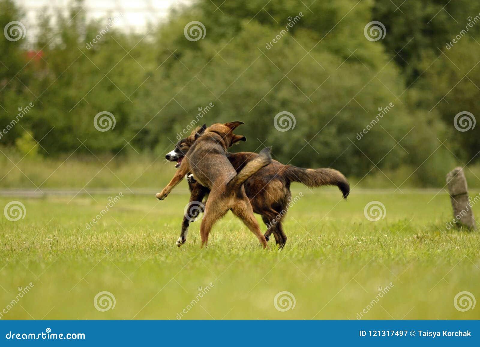 Agresywny pies Trenować psy Szczeniak edukacja, kynologia, intensywny szkolenie młodzi psy Młody energiczny pies na spacerze