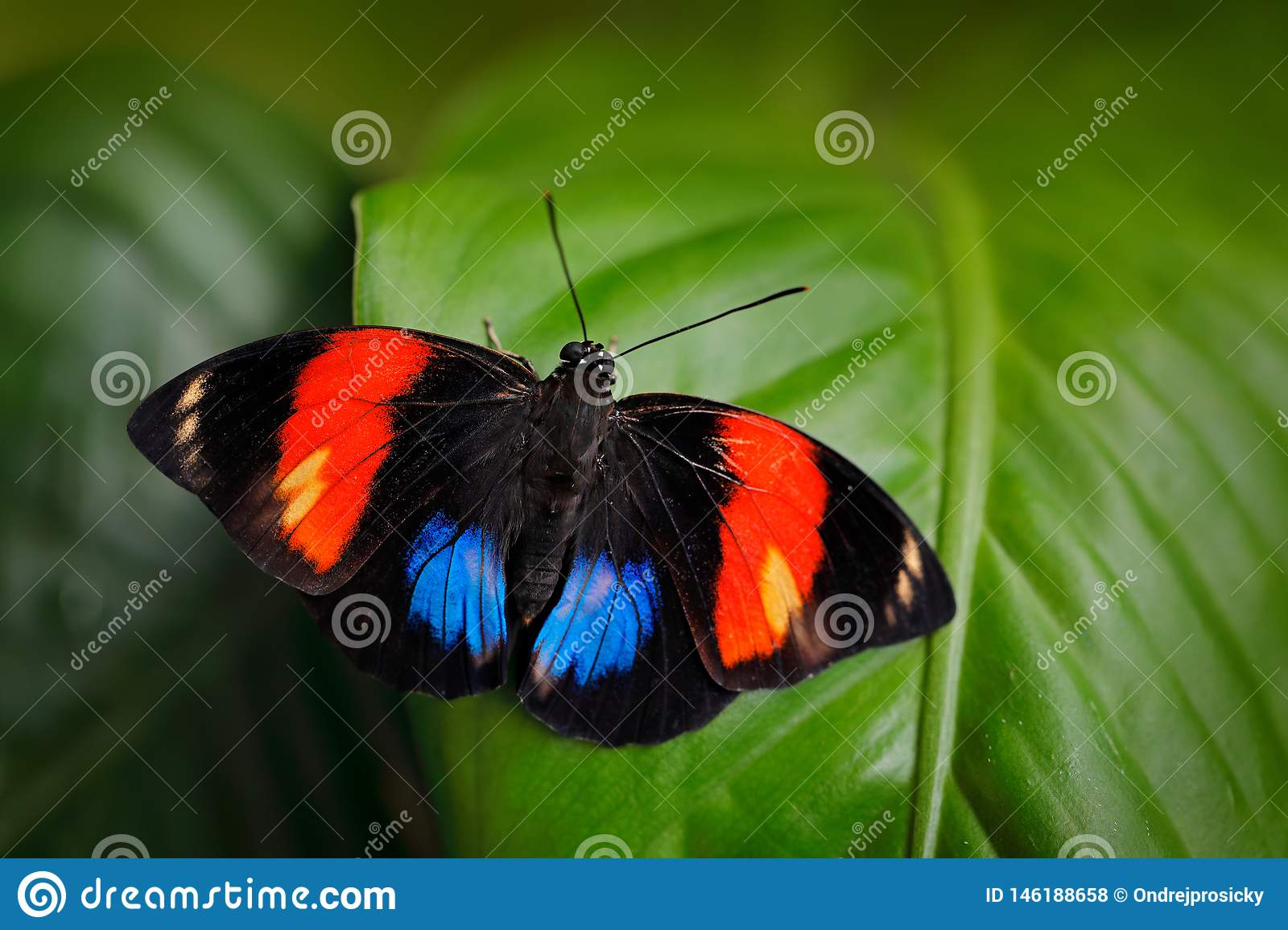 Bộ sưu tập cánh vẩy 4 - Page 25 Agrias-amydon-dark-blue-red-butterfly-sitting-green-leaves-ttropic-jungle-forest-brazil-south-america-wildlife-scene-146188658