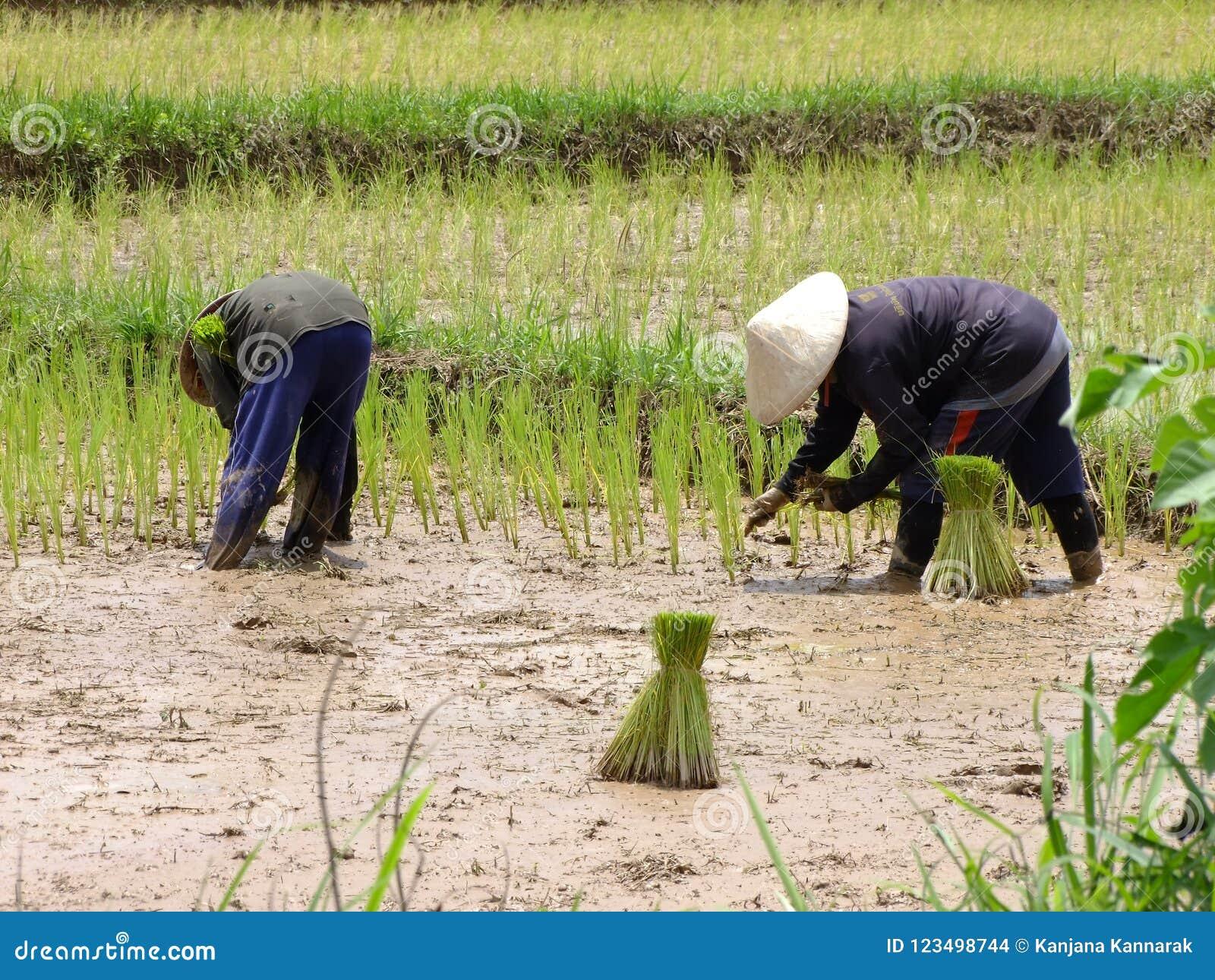 Agricoltore che pianta riso all aperto
