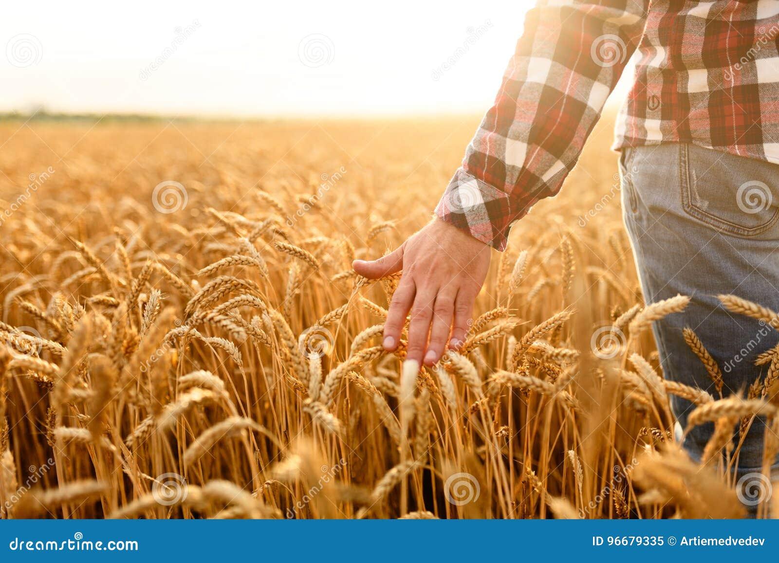 Agricoltore che tocca il suo raccolto con la mano in un giacimento di grano dorato Raccogliendo, concetto di agricoltura biologic