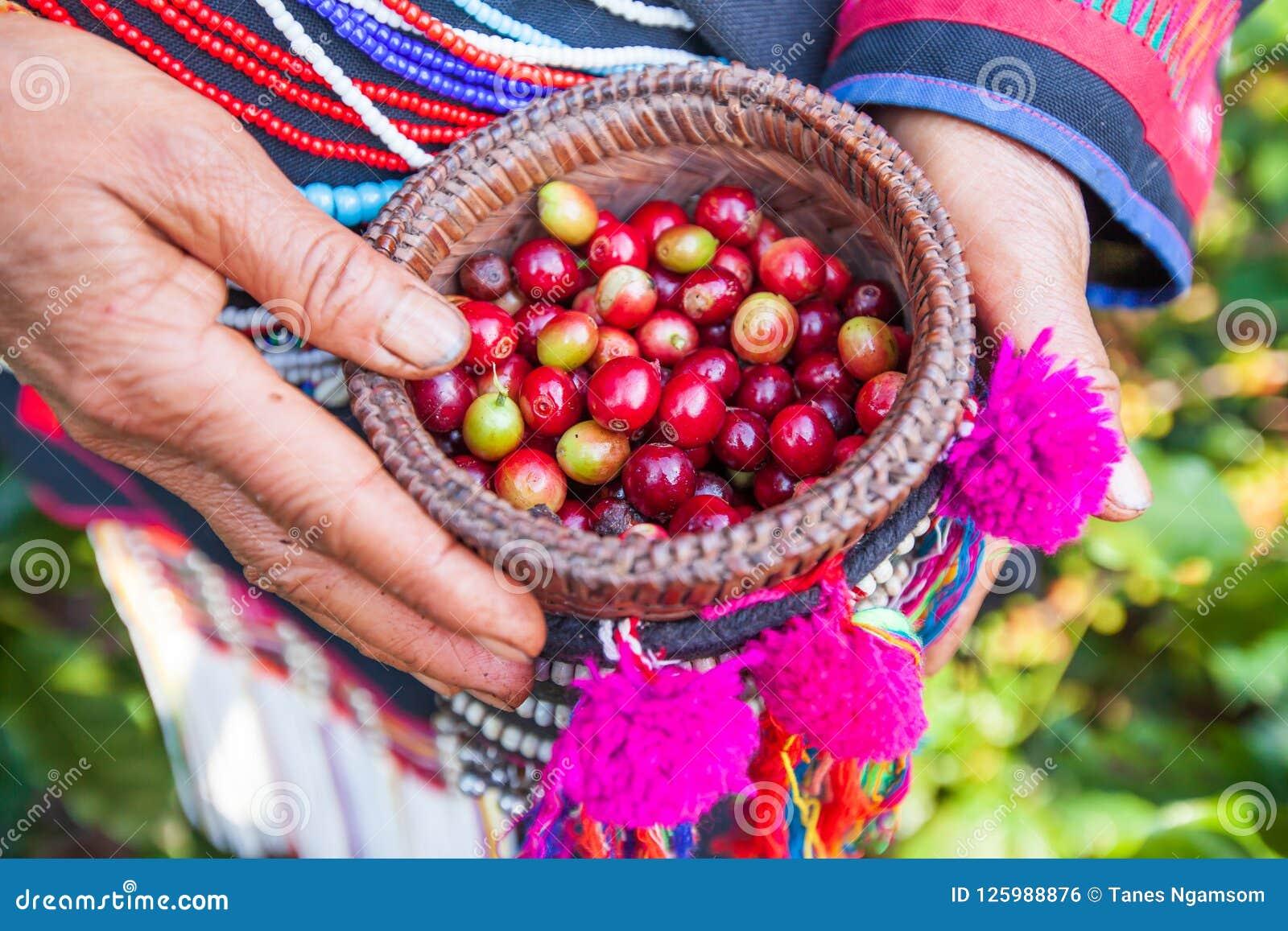 Agricoltore di Akha della tribù che raccoglie le bacche di caffè Arabica dentro o