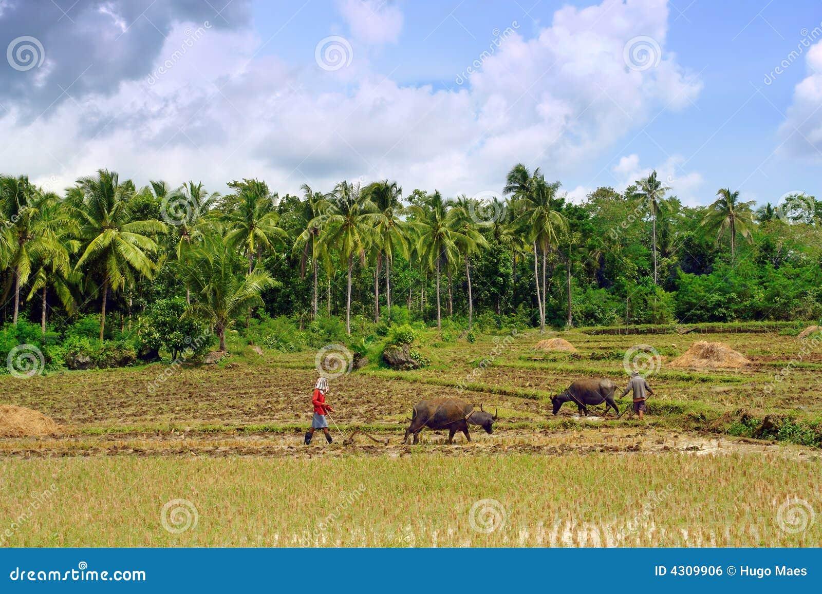 Agricoltura Asiatica Del Primitivo Fotografia Stock ...