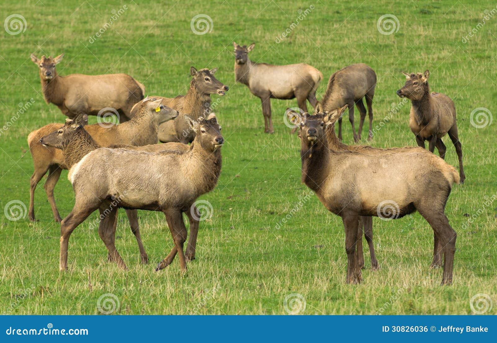 Agricoltura dei cervi nobili