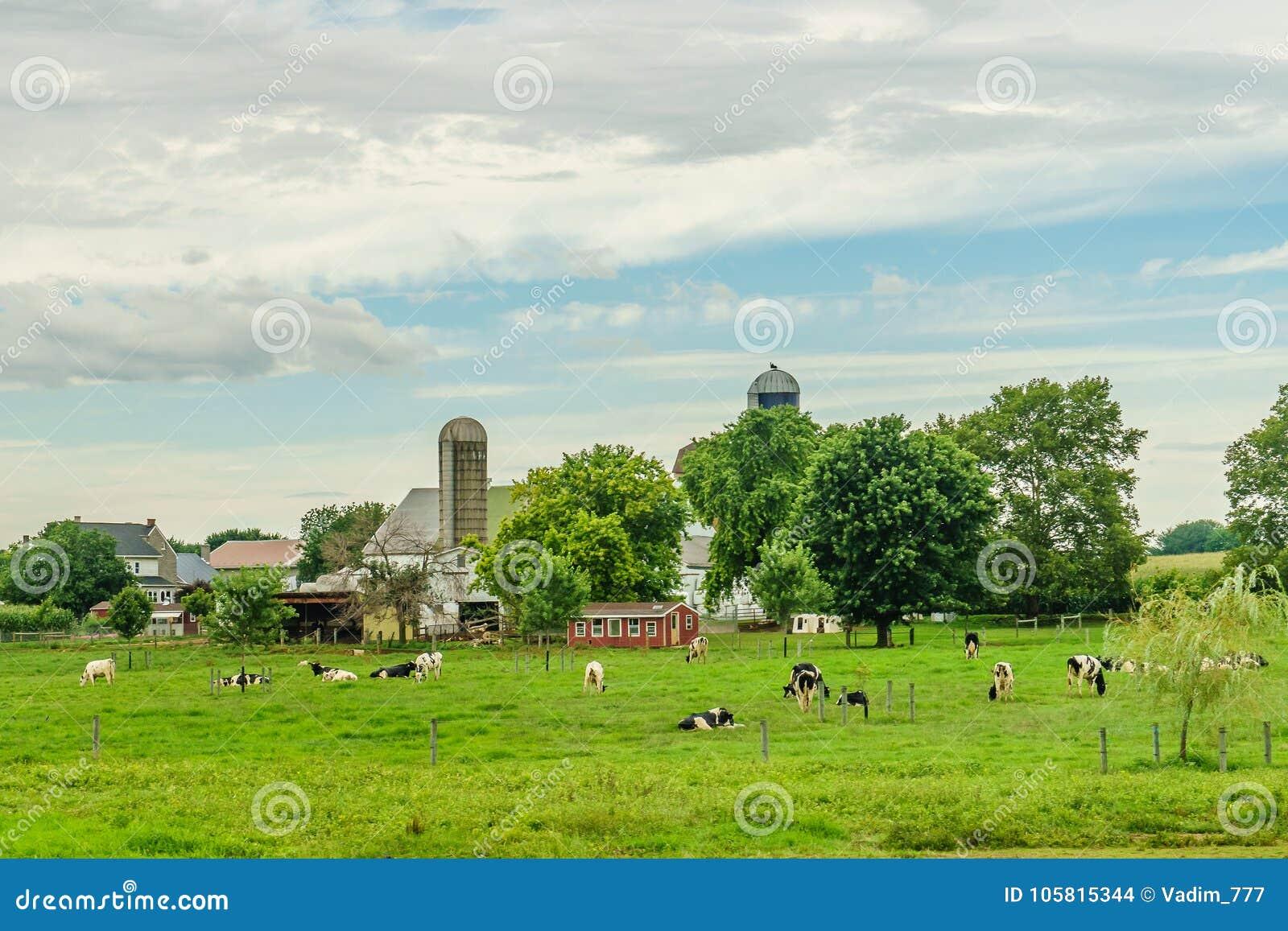 Agricoltura del campo del granaio dell azienda agricola del paese di Amish e mucche di pascolo a Lancaster, PA