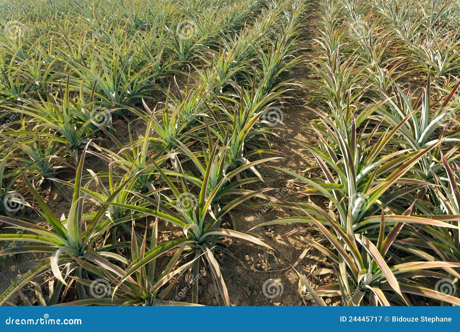 Agricoltura dell 39 ananas immagine stock immagine di for Albero di ananas