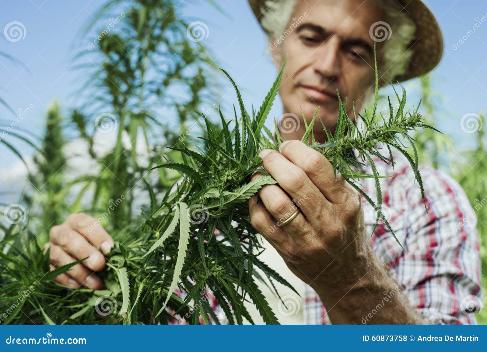 Agricoltura della canapa