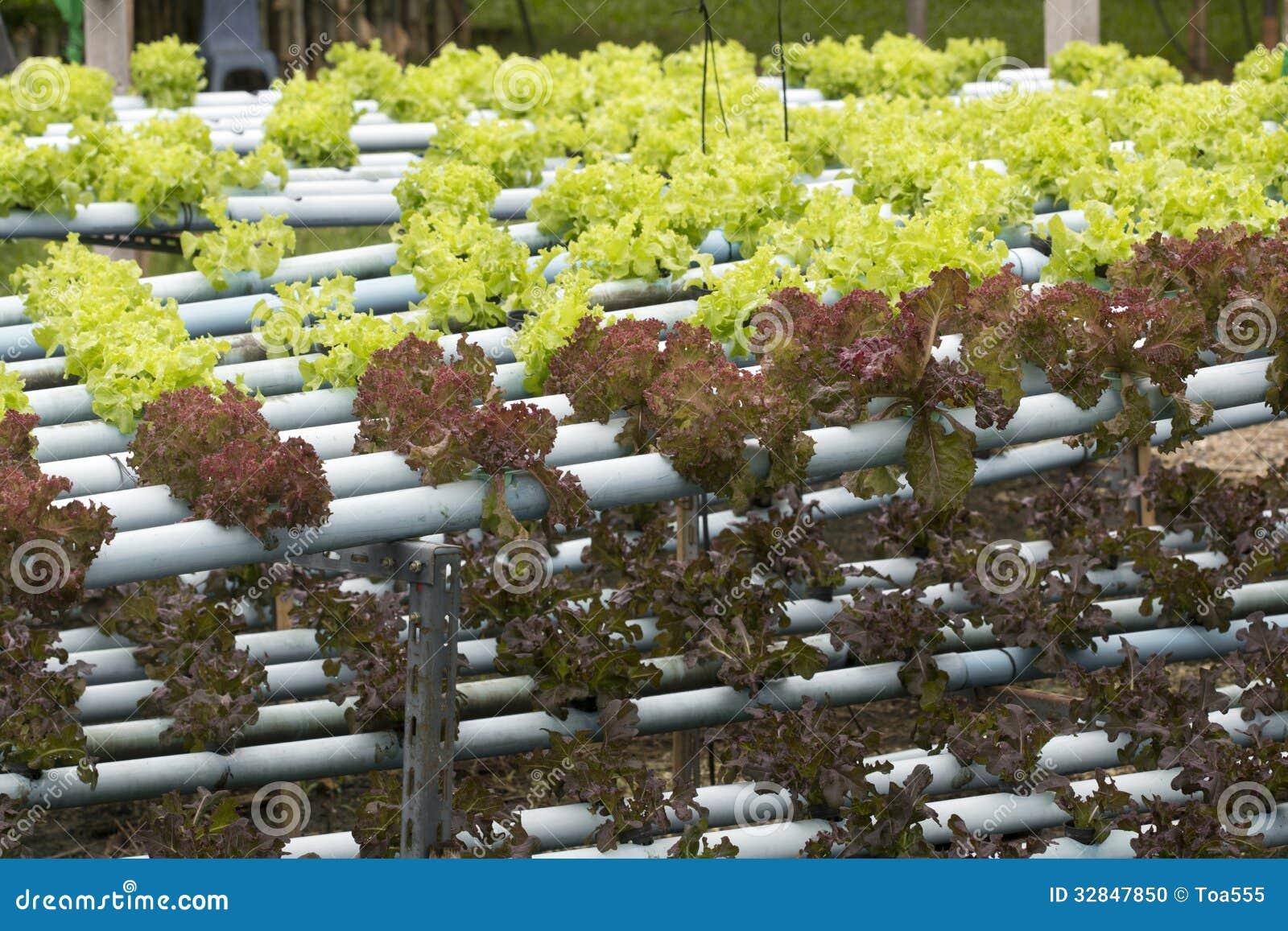 Agricoltura della verdura di coltura idroponica