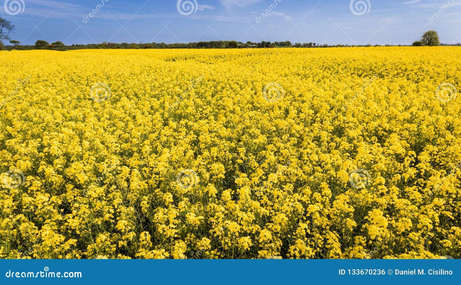 Agricoltura Giacimento del seme di ravizzone l irlanda