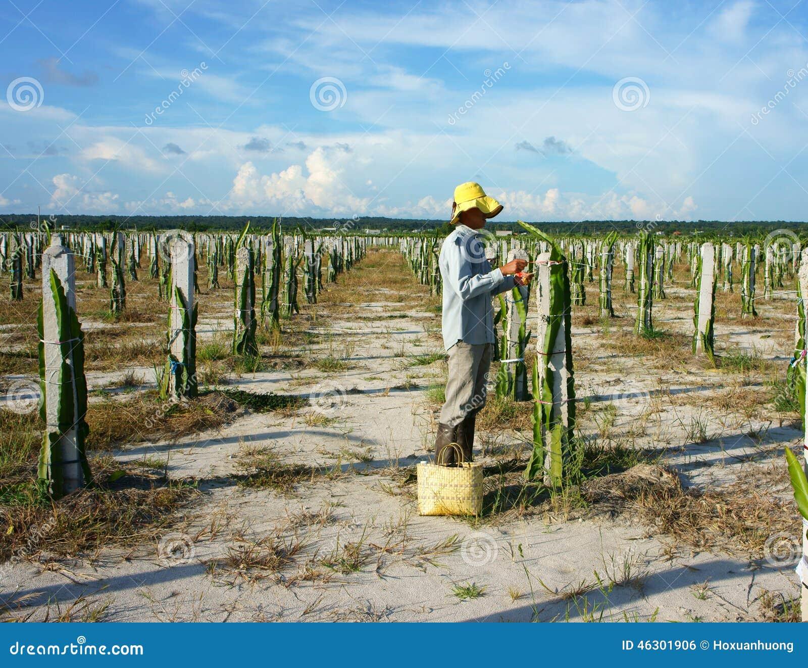 Agriculteur asiatique ferme d 39 agriculture fruit du - Arbre fruit du dragon ...