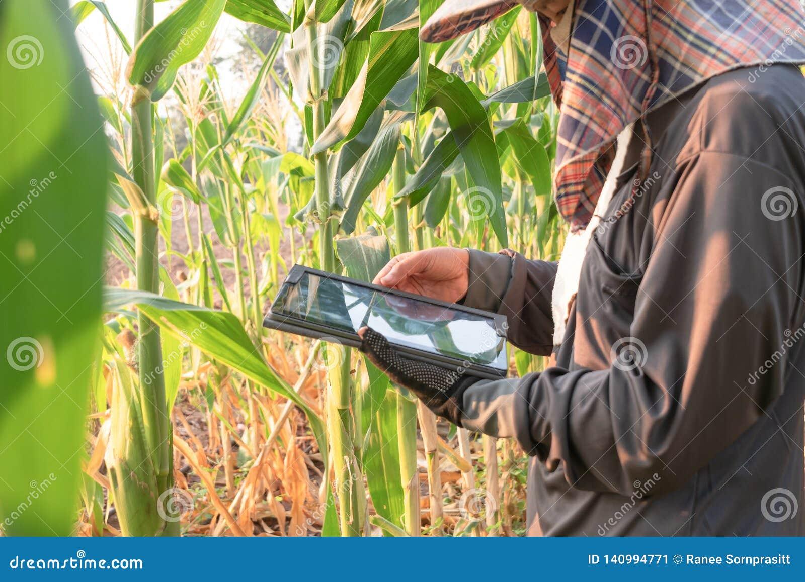 Agriculteur de femmes vérifiant la croissance de la ferme de maïs