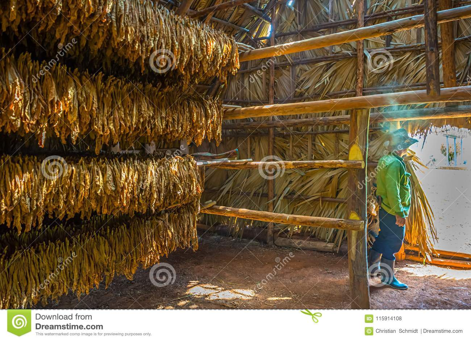 Agriculteur de tabac et séchage des feuilles de tabac dans un hangar de séchage dans Viñales, Cuba