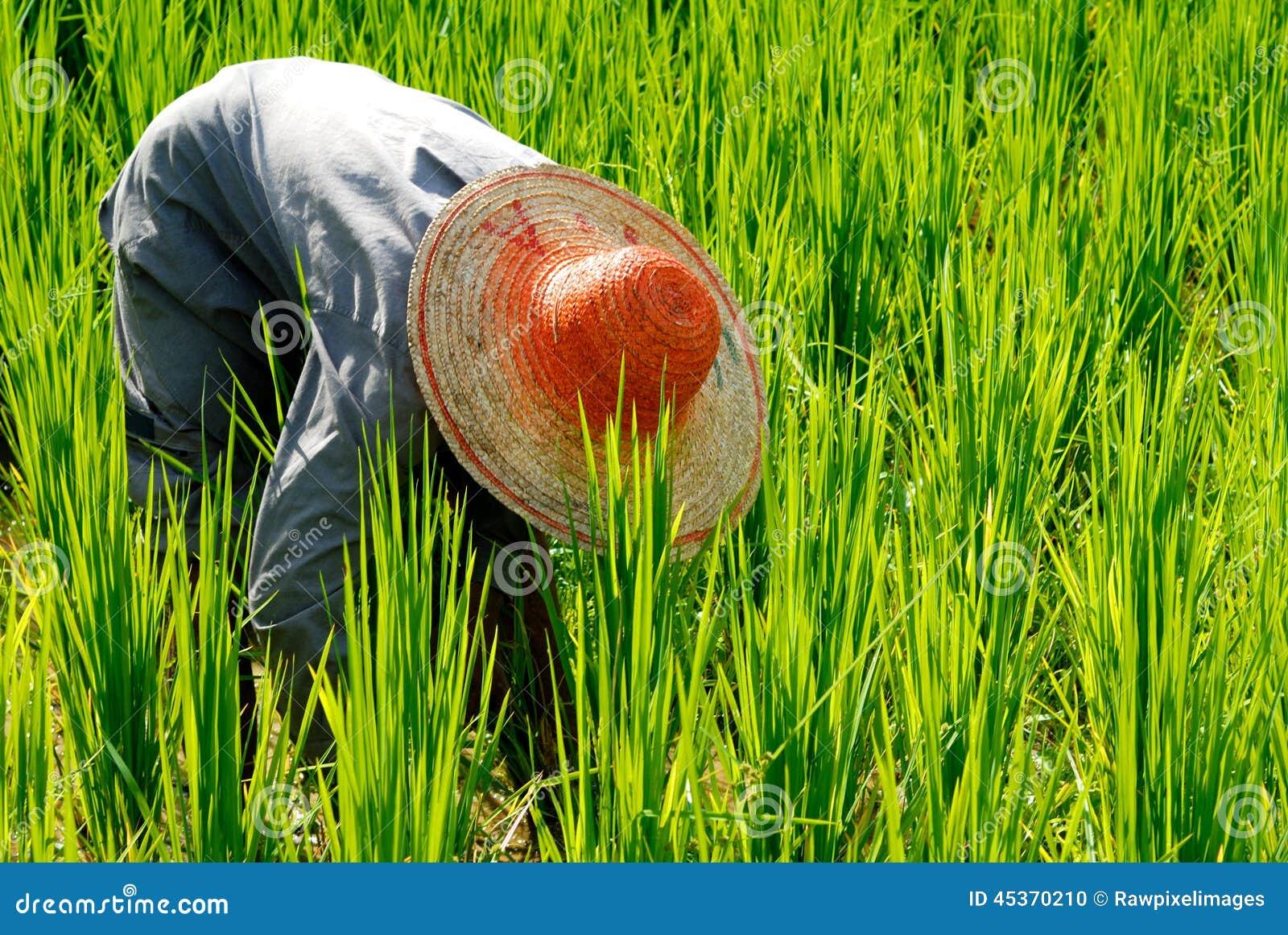 Agriculteur moissonnant le riz