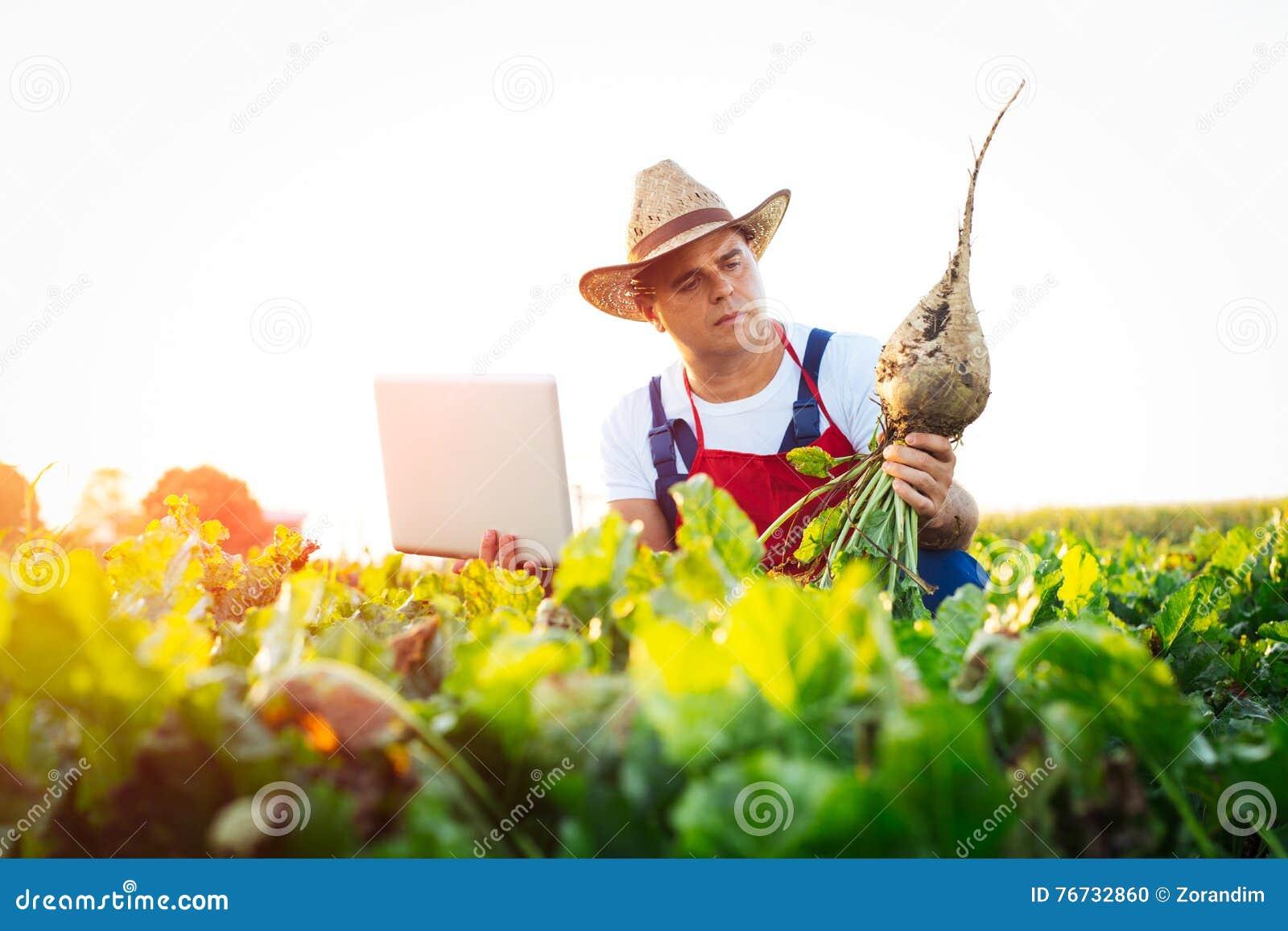 Agriculteur vérifiant la qualité des betteraves à sucre