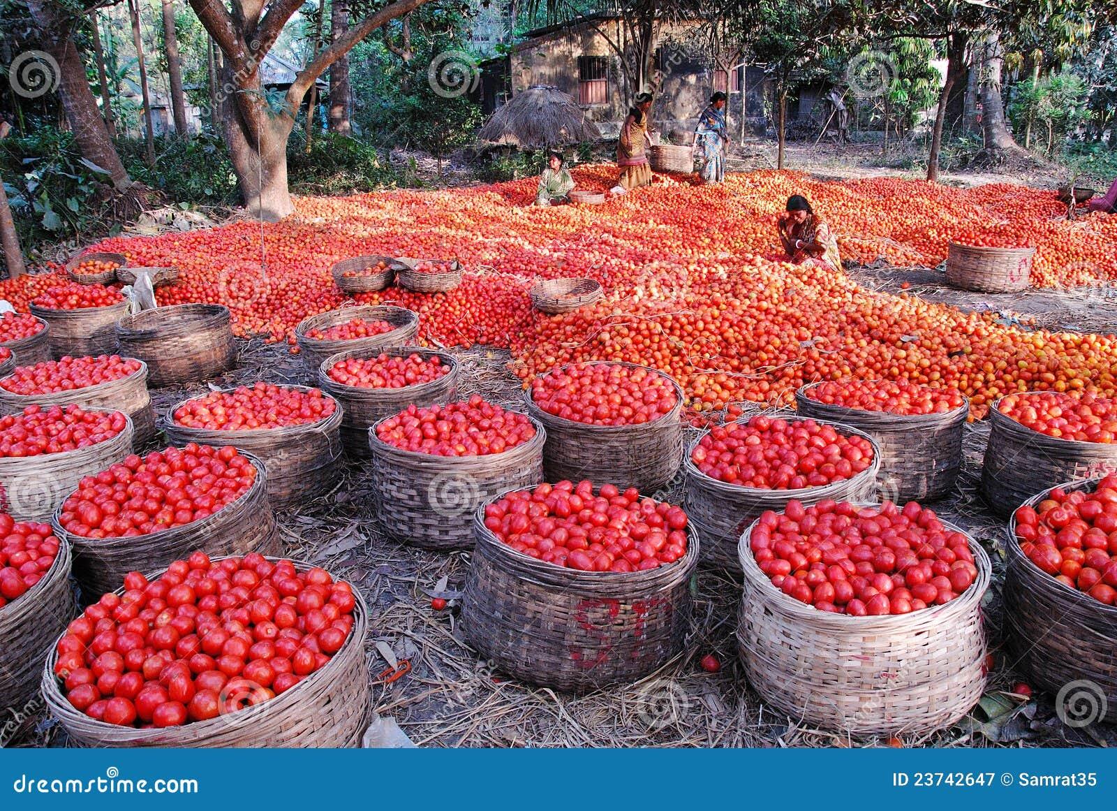 Agricultura em India