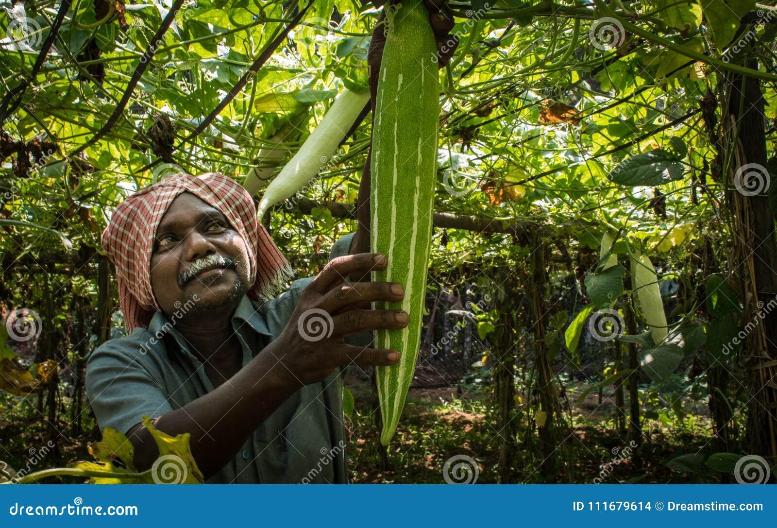 Agricultura en Kerala cosecha