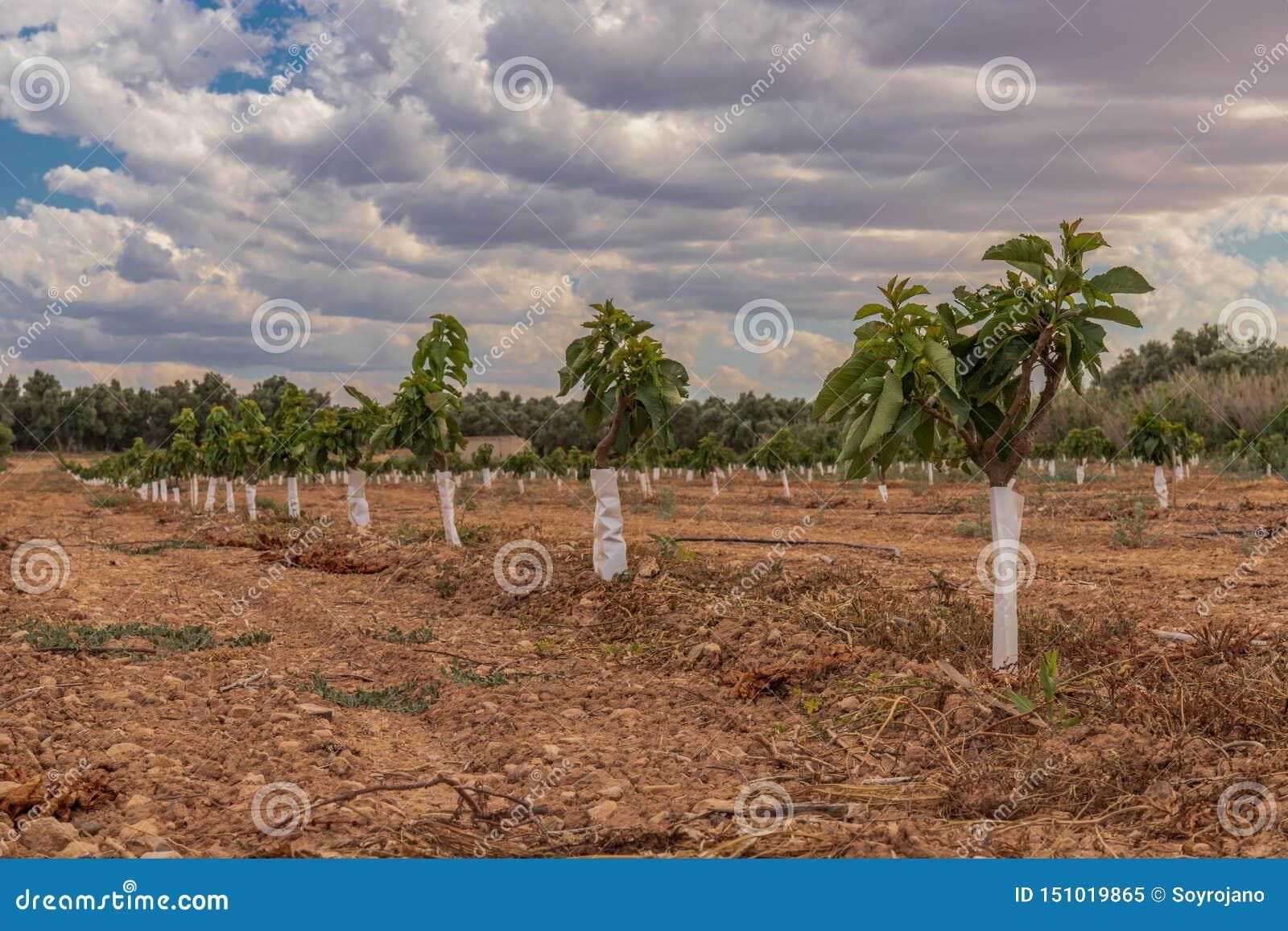 Agricultura extensiva das árvores pequenas da plantação da cereja