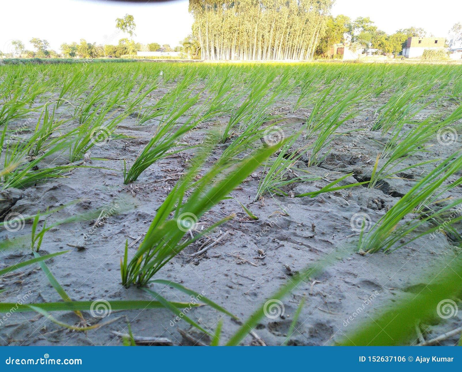 Agricultura que cultiva fango dhaan del agua del cuarto de niños