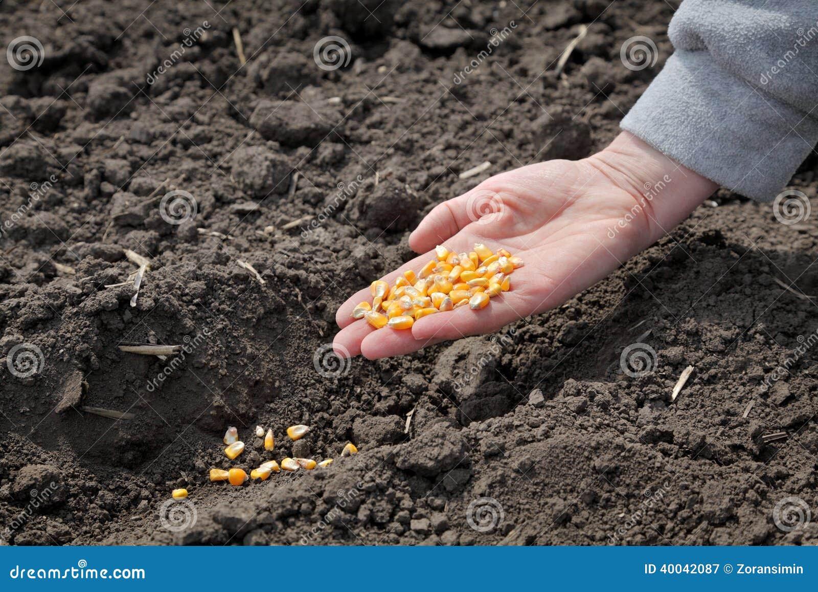 Agricultura siembra del ma z foto de archivo imagen for Sembrar maiz y frijol juntos
