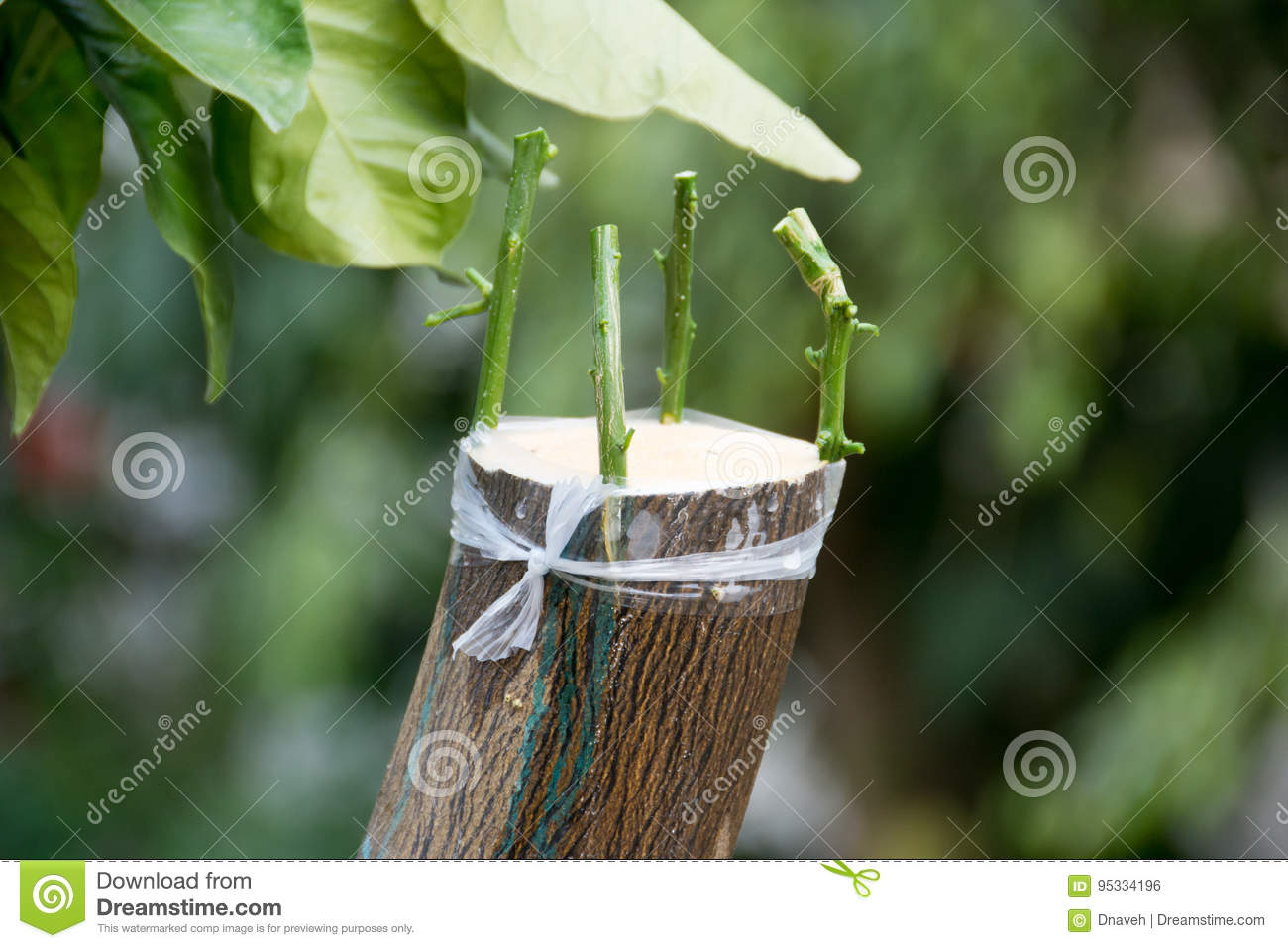 Agricultural Grafting Of Citrus Fruit Trees Stock Photo