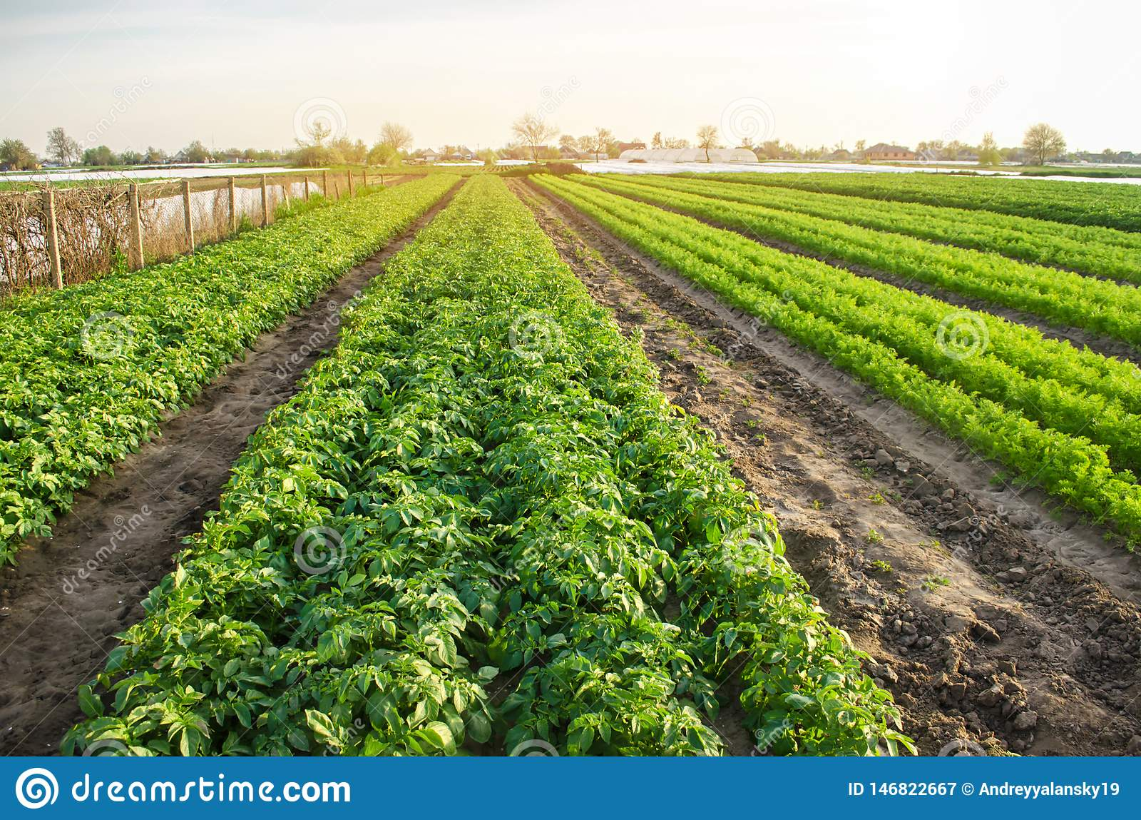 Agricultural landscape with vegetable plantations. Growing organic vegetables in the field. Farm agriculture. Potatoes and carrot