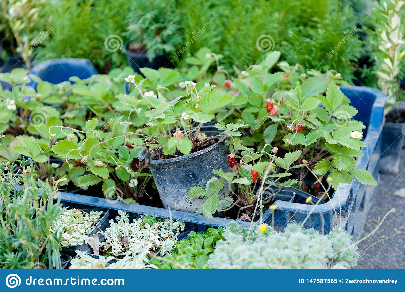 Agriculture berry plant in container