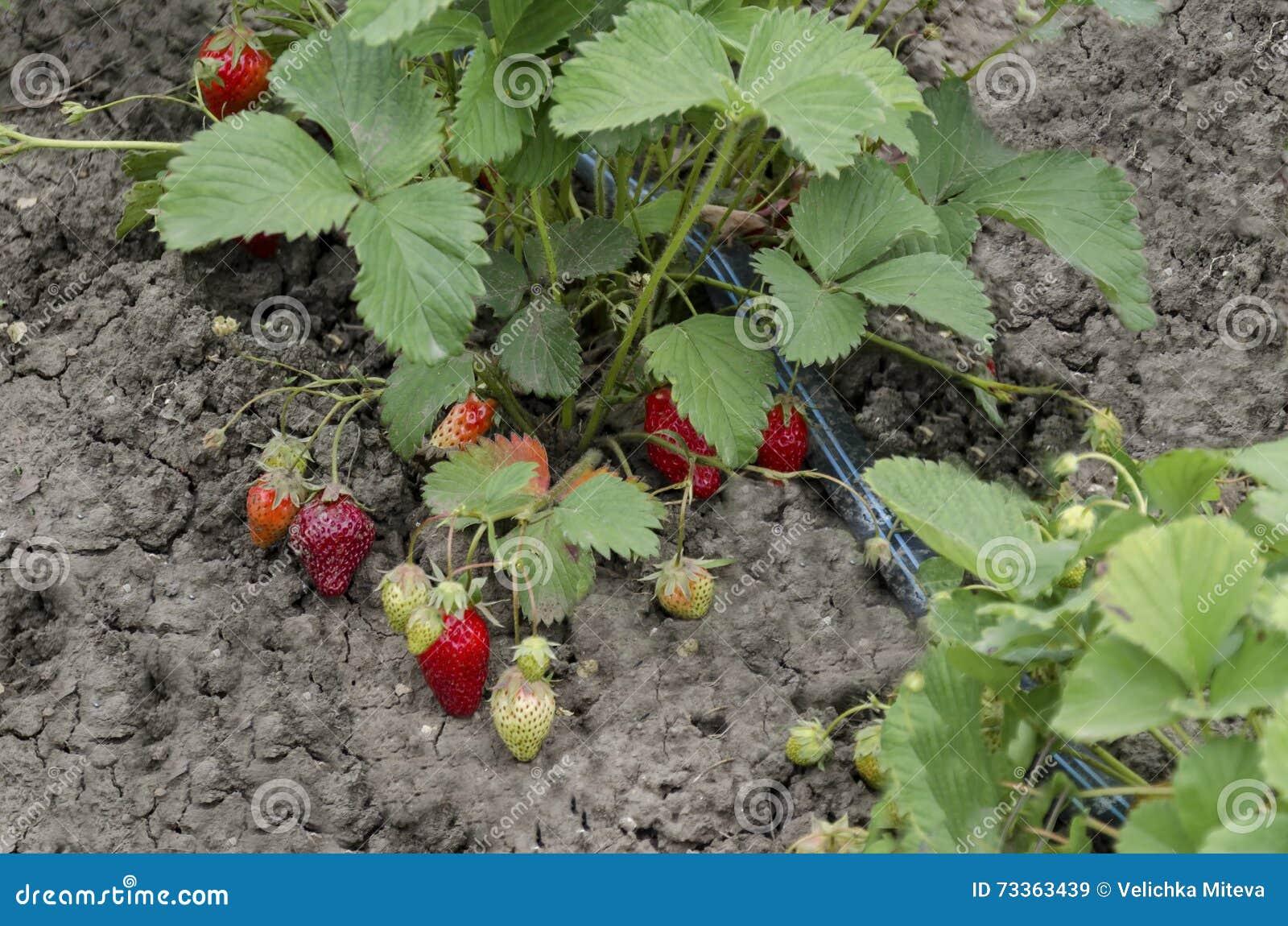 Agriculture biologique de la fraise et de la technologie pour l irrigation avec de l eau baisse dans le potager