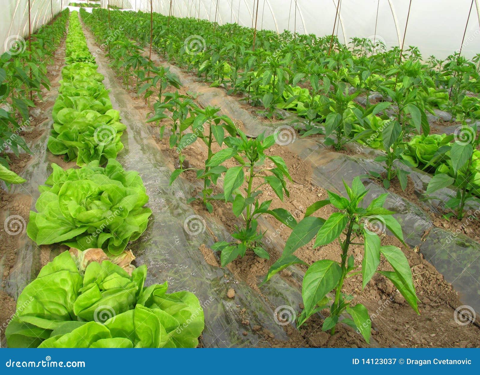 Agriculture biologique, laitue et poivrons en serre chaude