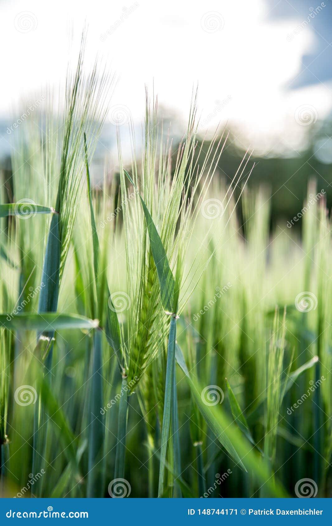 Agriculture : Champ de ma?s vert frais un jour ensoleill?, printemps
