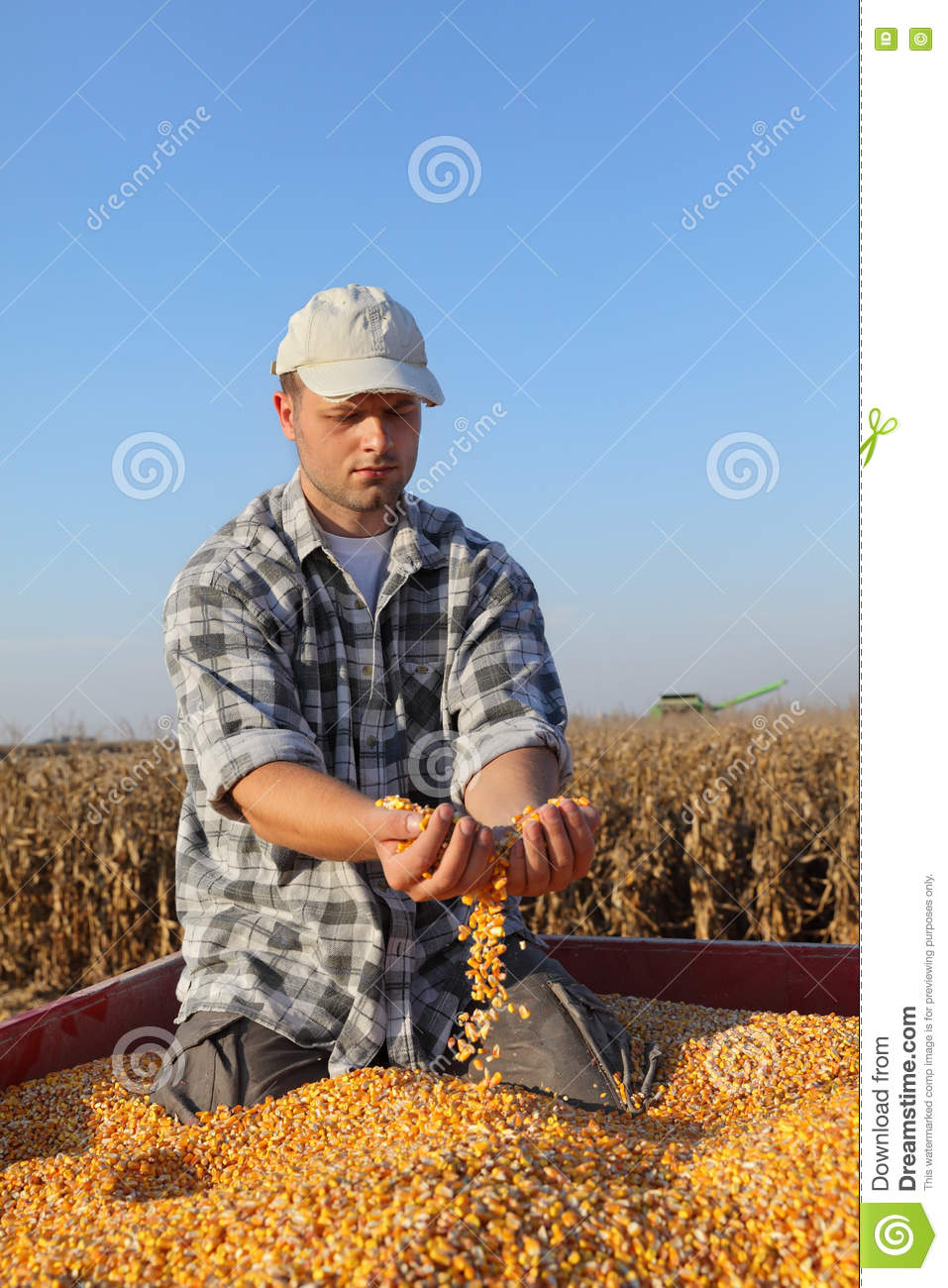 Agriculture, Corn Harvest, Farmer And Crop Stock Image